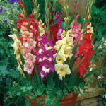 Growing Gladioli in Pots or Containers