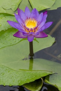 Growing-Water-Lilies-Pond-Plants-202x300