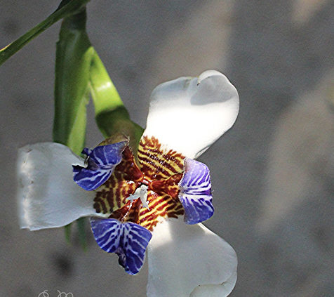 Growing-and-caring-for-a-neomarica-walking-iris-plant