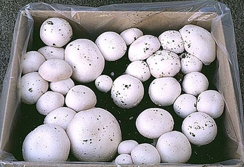 Growing-your-own-mushrooms-oyster-mushrooms-shiitake-mushrooms-and-white-button in a box