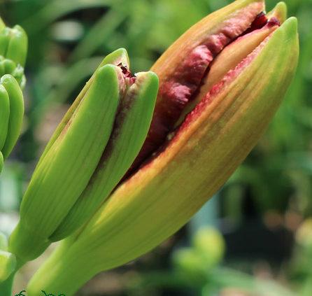 Hemerocallis-Gall-Midge-Control