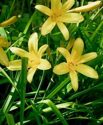 3 Yellow Hemerocallis
