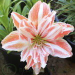 Hippeastrum How to grow hippeastrums from seed to looking after the bulbs