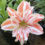 Hippeastrum-How-to-grow-hippeastrums-from-seed-to-looking-after-the-bulbs