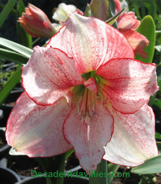 Hippeastrum-Plants-Hybrid