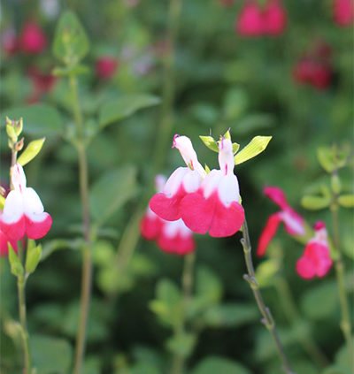 Hot-Lips-Salvia-growing-pruning-salvia-plants-