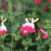 Hot Lips Plant Salvia Microphylla Care
