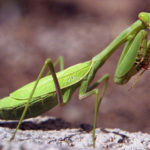 How-to-Attract-a-Praying-Mantis-to-Your-Garden
