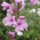 How-to-Grow-A-Watsonia-Plant-