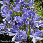 Agapanthus in my garden with bees