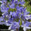 How-to-Grow-Agapanthus