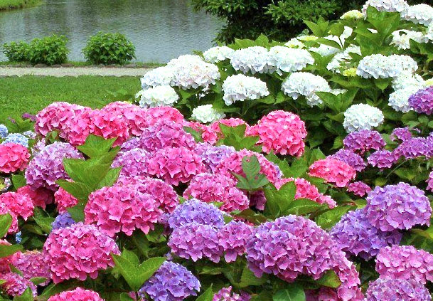 How-to-Grow-Hydrangeas