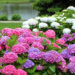 Growing Hydrangeas Outdoors