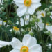 Japanese Anemones Windflower Plants