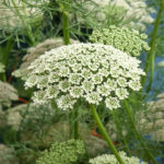 Queen Annes Lace Flowers tall pink and white