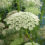 Queen Annes Lace Flowers tall pink or white