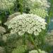 Queen Anne's Lace Wild flower Edible