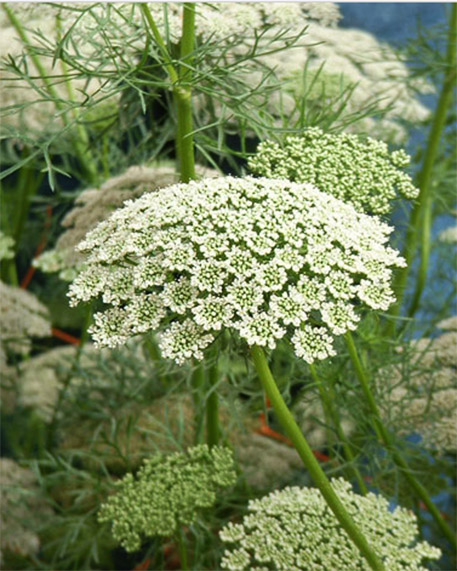 Queen Annes Lace tall plants flower pink or white