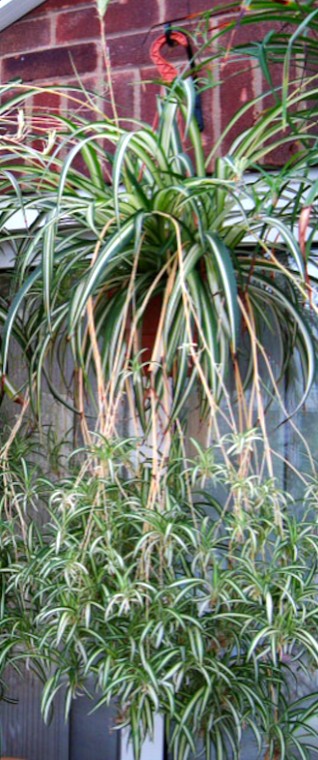 Spider Plants with dangling plantlets