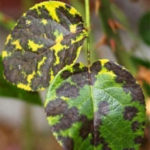 Black spot disease showing on rose bush leaves
