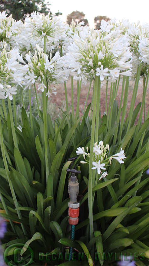 White agapanthus growing amongst a garden tap