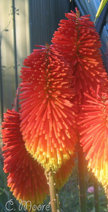 How-to-grow-and-plant-Kniphofia-Red-Hot-Poker-Torch-Lily