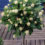 How-to-train-ornamental-trees-vines-and-shrubs-into-standards