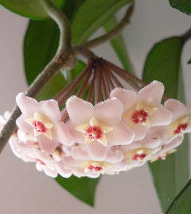 Hoya Vine pink blooms