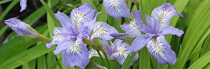 Iris-Gracilipes-care-how-to-grow-a-crested-Iris