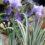 Iris-Pallida-Argentea-Variegata