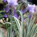 Iris Pallida Variegated Iris Care