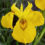 Iris-Pseudacorus-Yellow-Iris-Flower