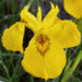 Iris Pseudacorus Yellow Iris Care