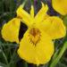 Iris Pseudacorus Yellow Iris Care