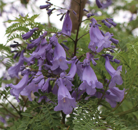 Jacaranda-tree-has-spectacular-flowers-and-Foliage
