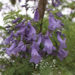 Jacaranda Tree Plant & Care