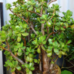 Jade-Plant-Planted-in-a-large-terracotta-pot