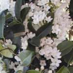 Jasmine Long Flowering Fragrant