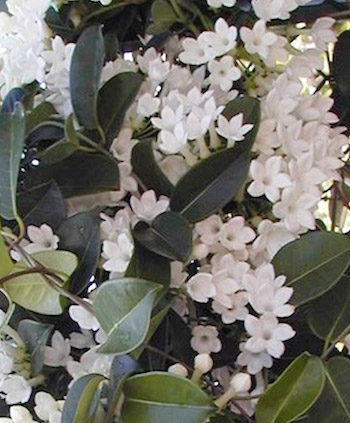 Jasmine-Long-Flowering-Fragrant