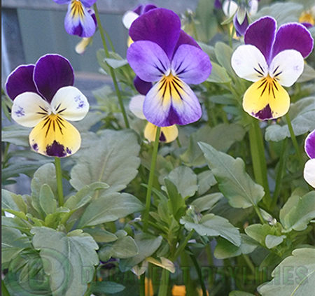 Johnny Jump Up Heartsease viola wild pansy edible flowers 1