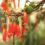 Kalanchoe-Manginii-Kalanchoe-Uniflora