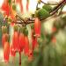 Kalanchoe Manginii  Plant Care