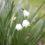 Leucojum-aestivum-Gravetye-Giant-Growing-in-My-Garden