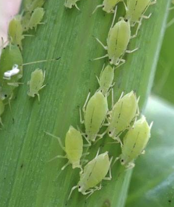 Life-cycle-of-an-Aphid