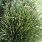 Lomandra-Longifolia-Australian-Native