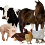 Most-Common-Organic-Manures-for-Organic-Gardening-are-from-Cows-Horses-Pigs-and-Chooks