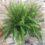 Kimberly Queen sword fern