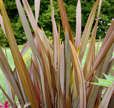 New-Zealand-Flax-Plant-Information-Caring-for-New-Zealand-Flax