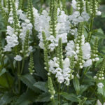Obedient-Plant-or-False-Dragonhead-Propagation
