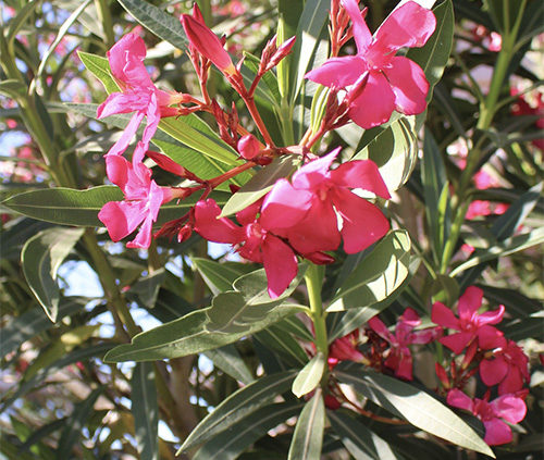Oleander-White-Pink-Shrub